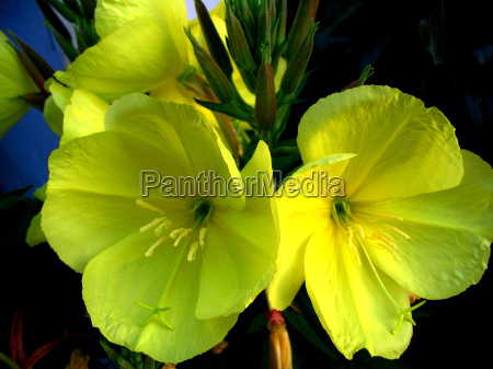 common evening primrose