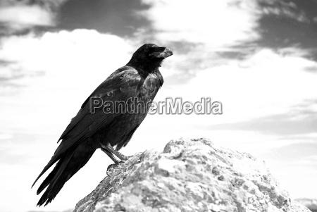 kolkrabe corvus corax kroendlhorn brixental oesterreich