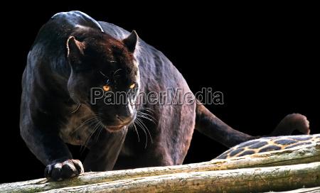 negro pantera