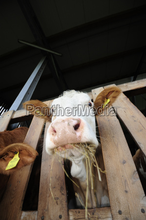 feedpet foodanimal feedcowcowsbeefbeeffarm animalslivestockcattle breedsanimals