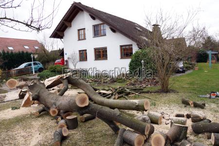 falling an oak tree in the
