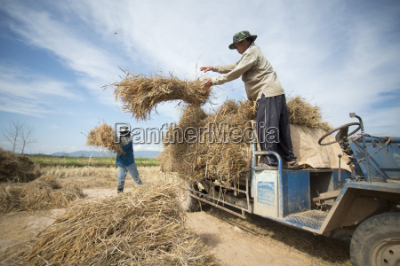 thailand chiang rai agriculture ricefield earning