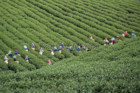 thailand chiang rai mae salong tea